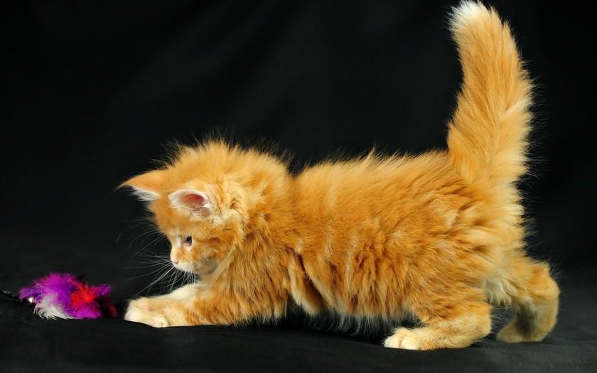 Veľká červená mačička
